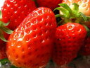苺〈イチゴ〉【九州系】1パック、300g前後、15〜26粒前後