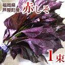 赤しそ 1束 梅干し用 赤紫蘇ジュース用 福岡県芦屋産 産地直送