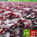 赤しそ 葉 5kg 20束 梅干し用 赤紫蘇ジュース用 福岡県芦屋産 ご予約品