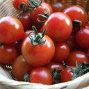 ミニトマト 1パック 福岡産 地元農家のもぎたてトマト!鮮度抜群!