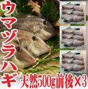 ウマヅラハギ 山形県産 500g4〜6尾×3パック 冷凍 鮮魚セット カワハギ ウマズラハギ【あす楽】