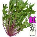 紅法師(水菜)50g 伊勢志摩産・水耕栽培