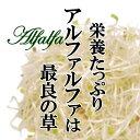 アルファルファ 1パック ムラサキウマコヤシ 糸もやし スプラウト 発芽野菜 ハーブ 新芽 お取り寄せ