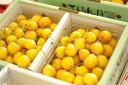 お中元月山錦さくらんぼ販売 1kg バラ詰め 2L〜3L 幻の黄色い山形さくらんぼ通販ギフトは7月上旬