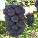訳あり 種無し 完熟 ぶどう 巨峰 長野県産 約3キロ