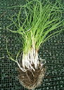 アサツキの苗30本 送料無料 ¥830 お酒の肴に 農薬不使用 斑尾山綺麗な水と空気 コンパニオンプランツ