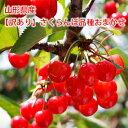 【訳あり】山形産さくらんぼ 品種おまかせ(佐藤錦・紅秀峰ほか)1kg