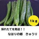 6-1-15 新鮮朝どれ野菜をお届け♪きゅうり1kg【なはりの郷】送料無料 キュウリ 胡瓜 サラダ