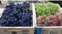 本場甲州山梨市、丸山さんのブドウお任せ3種 約2kg(約3〜5房) 【発送 8月中旬頃 〜 10月上旬頃】