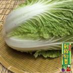 白菜 1玉 産地直送 鹿児島県産 宮崎県産