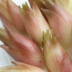 茗荷 みょうが 2000g 新潟産 野菜 ミョウガ 採りたて発送 (8~9月中旬頃発送の予約)