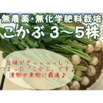 こかぶ 1袋 『無農薬・無化学肥料栽培』 千葉県成田市おかげさま農場産