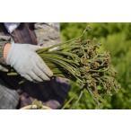 天然 山菜 ワラビ(紫わらび どじょう蕨)1kg 太く柔らく滑り強く香り高いのが自慢  春の味覚 山の幸 採りたてを産地直送