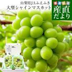 送料無料 長野県産 シャインマスカット ギフト用 高級貯蔵品 合計1.2キロ (2房から3房入り) ぶどう 葡萄 市場発送