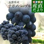 送料無料 長野県より産地直送 長野県JA中野市 ナガノパープル 約2キロ (4から5房) ぶどう ブドウ